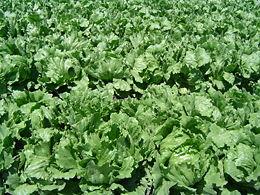 260px-Iceberg_lettuce_in_SB.jpg